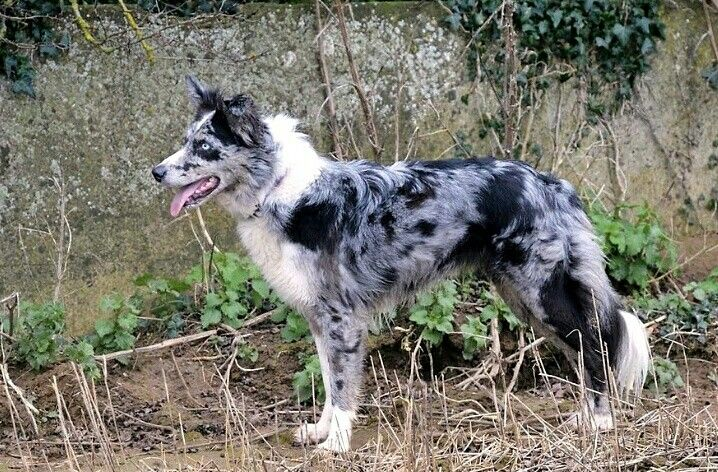 Blue Merle And White Brindle Pointed Border Collie Tricolor Merle