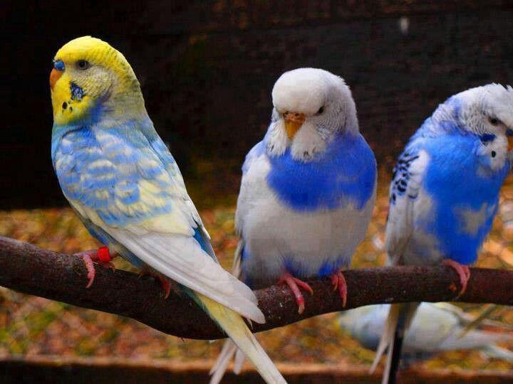 blue pretty parakeets ...