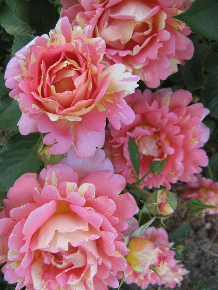 rose de cisterciens roses pinterest plants flowers. Black Bedroom Furniture Sets. Home Design Ideas