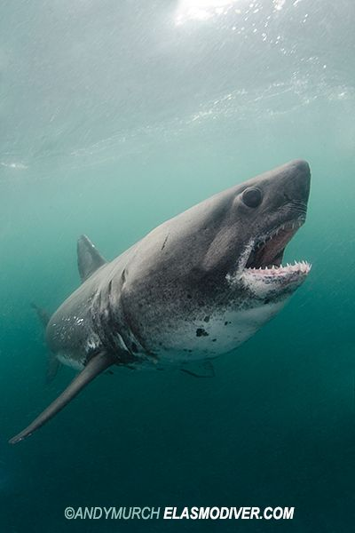 Salmon Shark - Salmon sharks generally grow to between 200 and 260 cm (79–103 in) in length and weigh up to 220 kg (485 lb). [Males appear to reach a maximum size slightly smaller than females. Unconfirmed reports exist of salmon sharks reaching as much as 4.3 m (14.2 ft); however, the largest confirmed reports indicate a maximum total length of about 3.0 m (10 ft). The maximum reported weight of this heavily built shark is over 450 kg (992 lb).