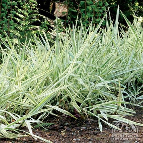 Family poaceae genus phalaris species arundinacea 39 picta for Variegated grass plant