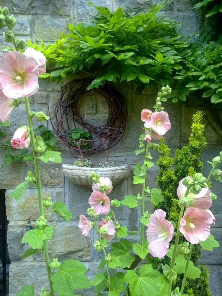 17 Best Images About Love Of Hollyhocks On Pinterest