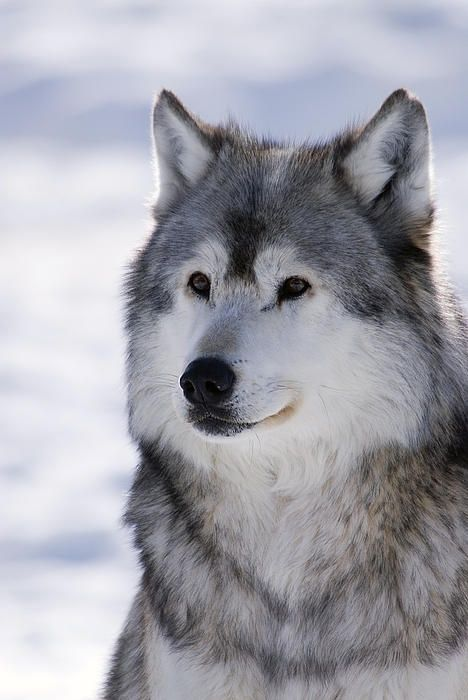 ✿~ Adorable ♥ Animals ✿⊱╮  ***Wolf Winter Portrait***