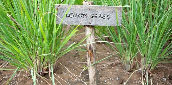 Olio essenziale di citronella (lemongrass): 10 fantastici utilizzi per la casa e la salute
