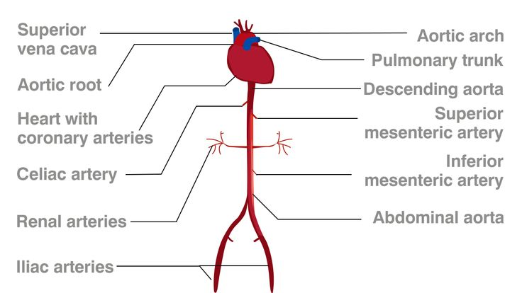 Aorta and Celiac Trunk