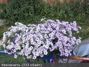 Петунии - 11 (сезон 2013 г.) - Цветущая Дача