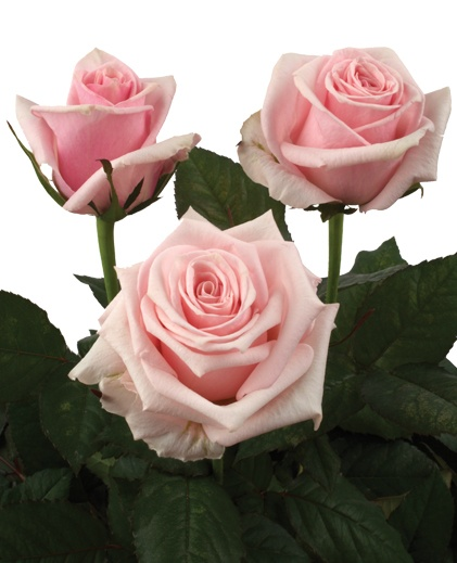 """Arabesque - growers description """" tall pale pink bud that opens into a well formed bright candy pink bloom that would brighten any room."""""""