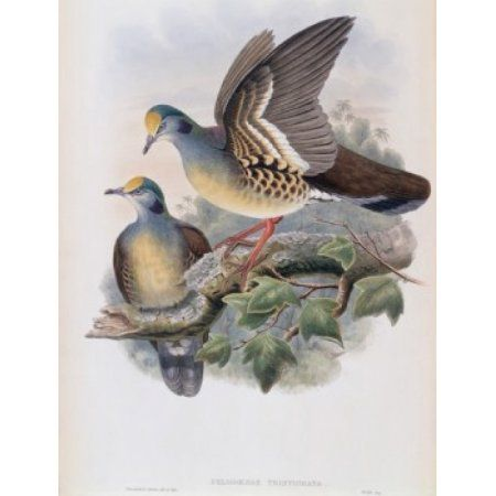 Branded Pigeon John Gould (1804-1881 British) Canvas Art - John Gould (24 x 36)