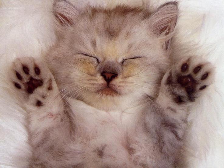 I Surrender: Cats, Sleepy Kitty, Cutecat, Cute Cat, Cat Photo, Cat Naps, Persian Cat, Cute Kittens, Animal