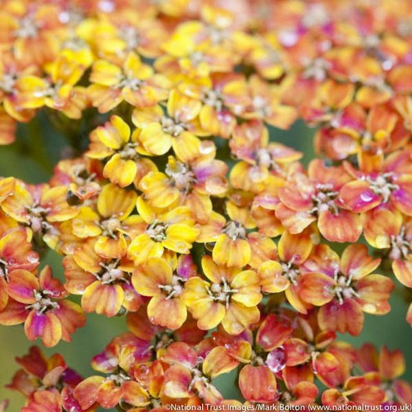 Presenting a mozaic of warm colors with its flowers of various ages, Achillea 'Terracotta' is a gorgeous Yarrow with masses of long-lasting clusters of peachy yellow flowers fading to a straw color.
