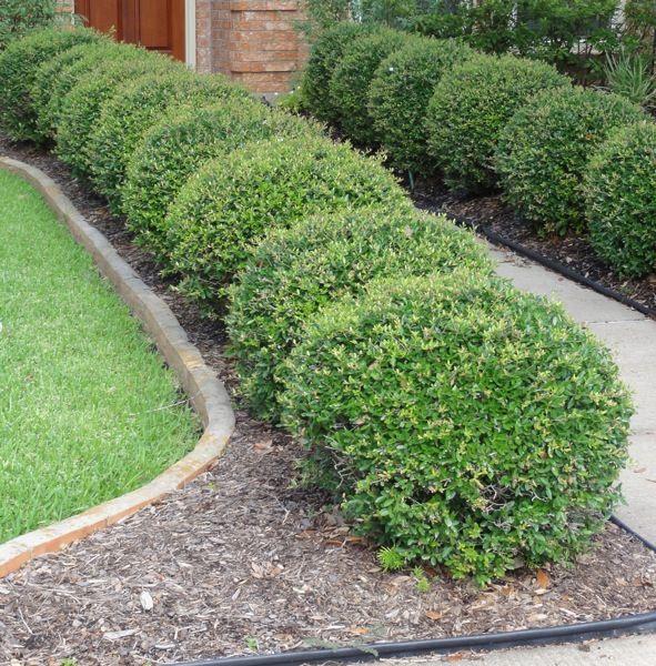 The 25 best dwarf shrubs full sun ideas on pinterest for Small dwarf trees for landscaping