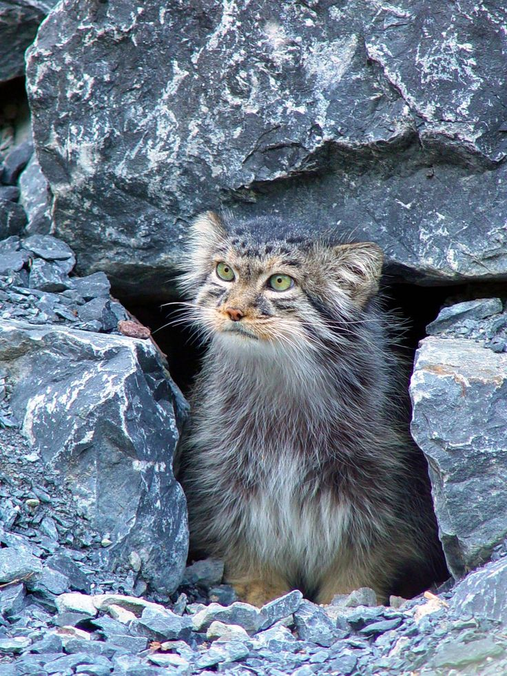 The Manul is A Wild Cat with round pupils, which gives their face a certain human expression.