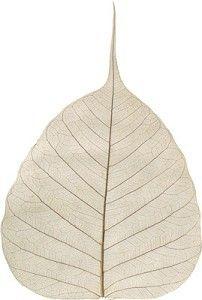Skeleton Leaves & Bodhi Leaves