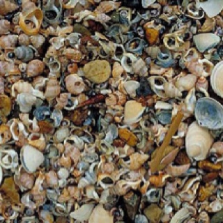 Sea shells near Waihi in the Coromandel.