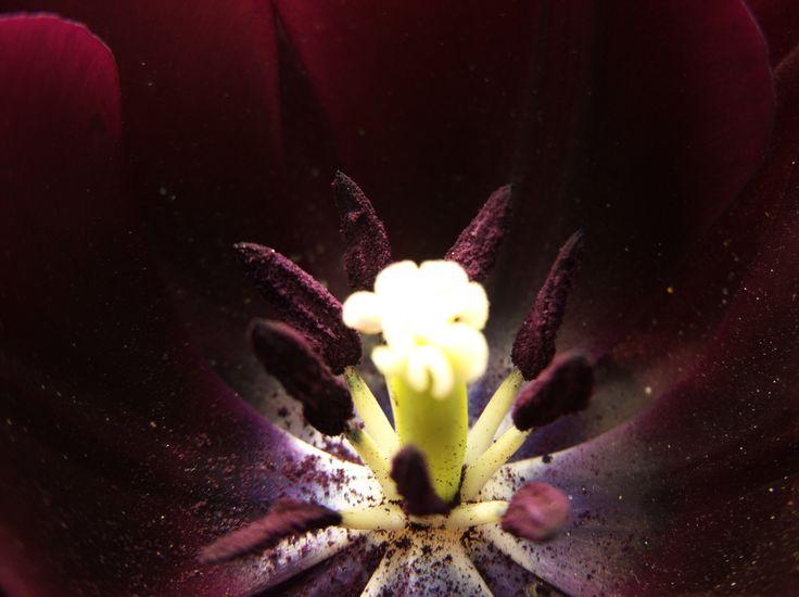 Polvere di tulipano
