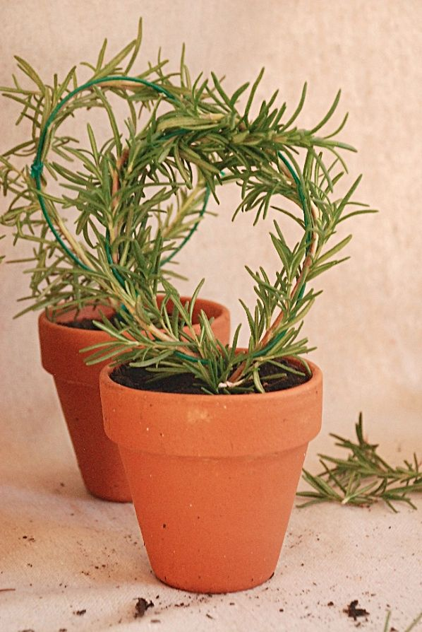 Make a DIY rosemary topiary following these step-by-step instructions from Whitney of The Curtis Casa #DIY