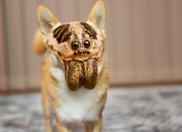 Chihrantula - Wanna Play Fetch? #hybrid #animal #weird ...