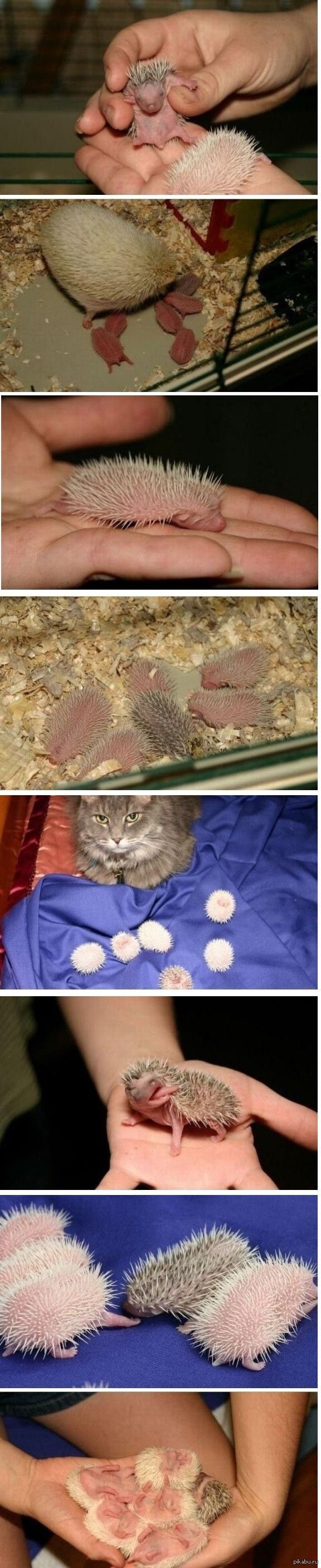 Baby Hedgehogs are weird little things... but cute!