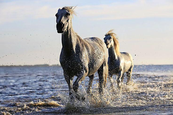 dois cavalos pretos correndo no corpo de água sob céu ensolarado