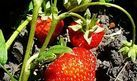 How to Prune Strawberries | eHow