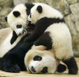 Image result for pile of panda bears