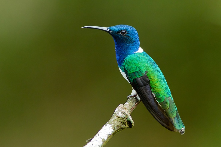 White-necked Jacobin by Jean Paul Perret, via 500px