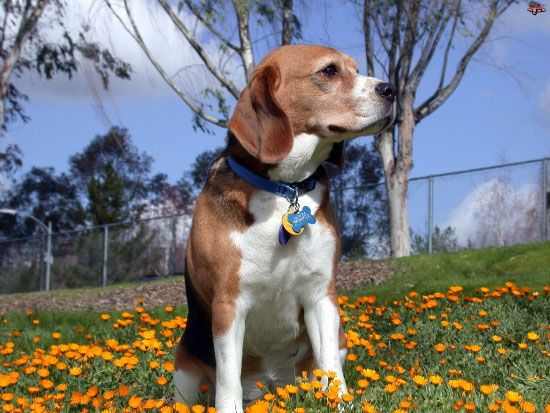 Diferencias entre Begle enano y Beagle Harrier - http://razabeagle.com/diferencias-entre-begle-enano-y-beagle-harrier/