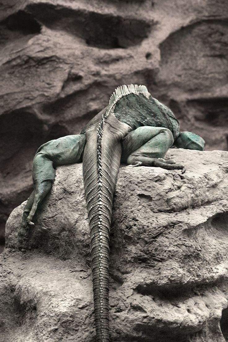47 best iguana art ideas images on pinterest iguanas lizards