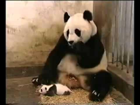 Panda niest