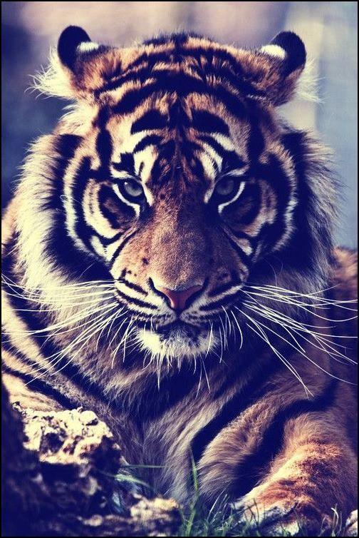Bueno,con esta foto tengo mucho de que hablar.En primer lugar quiero decir que es una foto preciosa con seguridad y fuerza;es hermosa!:3. En segundo lugar;el tigre es precioso con esos bigotes tan largos y eso... Y por último que esta foto le da mucha seguridad a cualquiera quiera o no tenerla.
