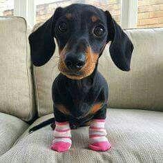 dachshund in socks