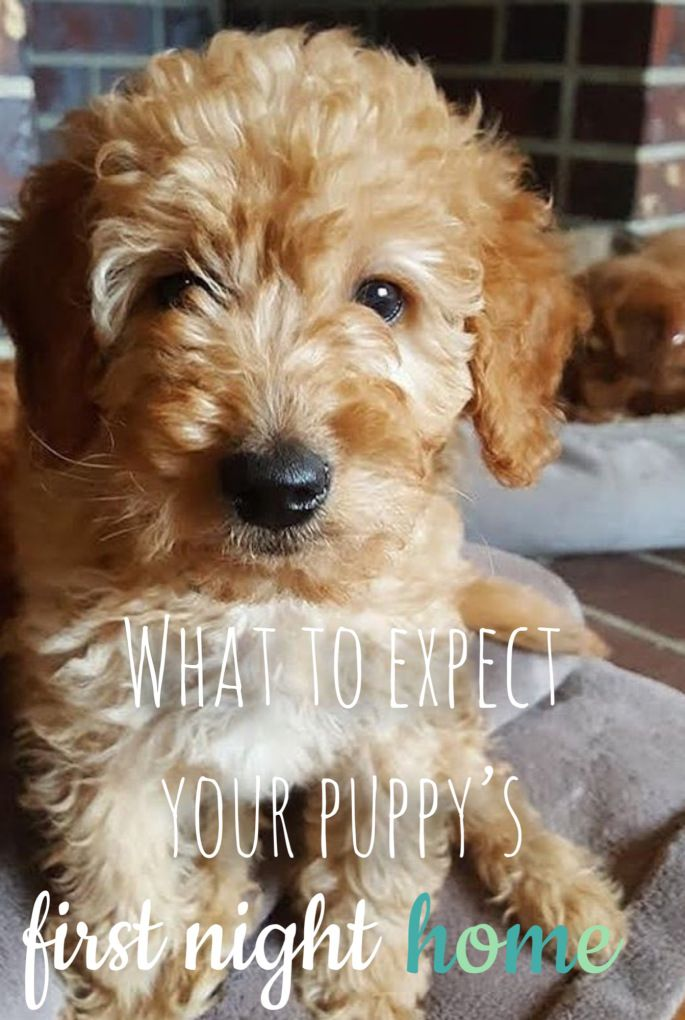 Easy Tips For The First Night Home With Your Puppy Now I Want A