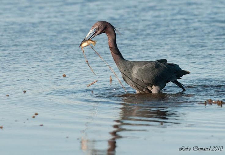 3-Küçük mavi balıkçıl (Egretta caerulea)  balık avlarken