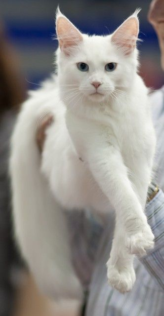 Maine Coon Cat Breed. I need this cat