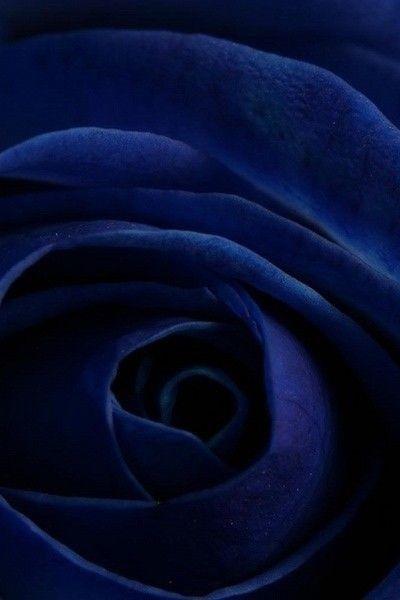 blue.quenalbertini: Dark blue rose | AboutFace&Fashion