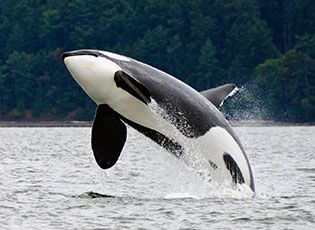 The world's last 84 Southern Resident orcas are at risk of losing their vital endangered species protection. Add your name now to help save them.