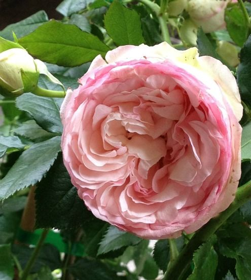 ~French rose ~*