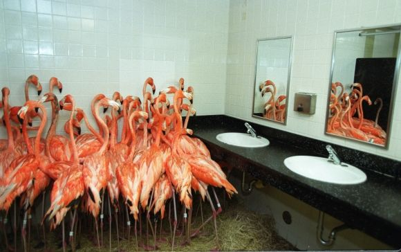 Flamingos take refuge in a bathroom at Miami-Metro Zoo, Sept. 14, 1999 as tropical-storm force winds from Hurricane Floyd approached the Miami area. Hurricane Floyd, which was expected to miss Miami, was a massive storm packing 155 mph winds. Floyd was a Category 2 storm, but led to 9.2 billion in damages.