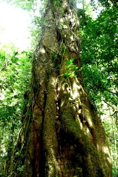 Tree, Daintree Rainforest, Australia