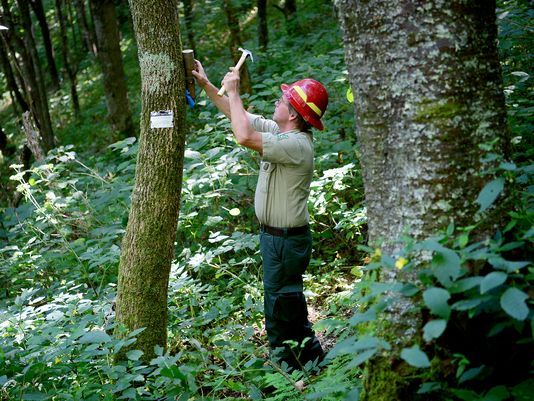 Forest Service unleashes secret weapon on tree-killing beetles: wasps