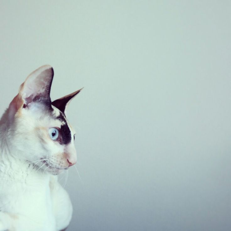tiivi the cornish rex.