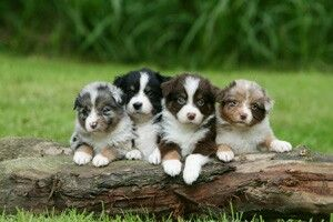 Teacup Australian Shepherds ...OMGoodness look at all those Colors☺