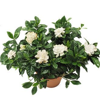 How to Grow Gardenias. MY FAVORITE OUTDOOR BUSH FOR THE YARD!!