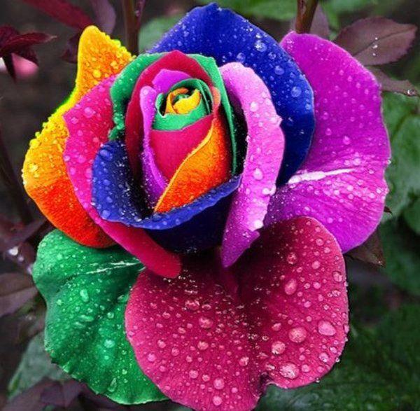 Rainbow Rose Seeds 100pcs Rainbow Colors