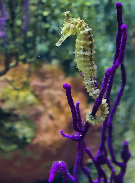 Seahorse - Melbourne Aquarium by JimBoots