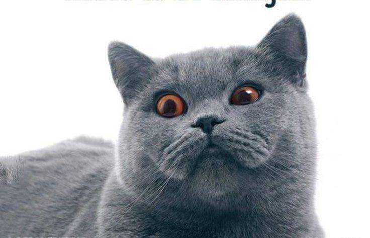 Russian Blue Cat Breeader Nyc