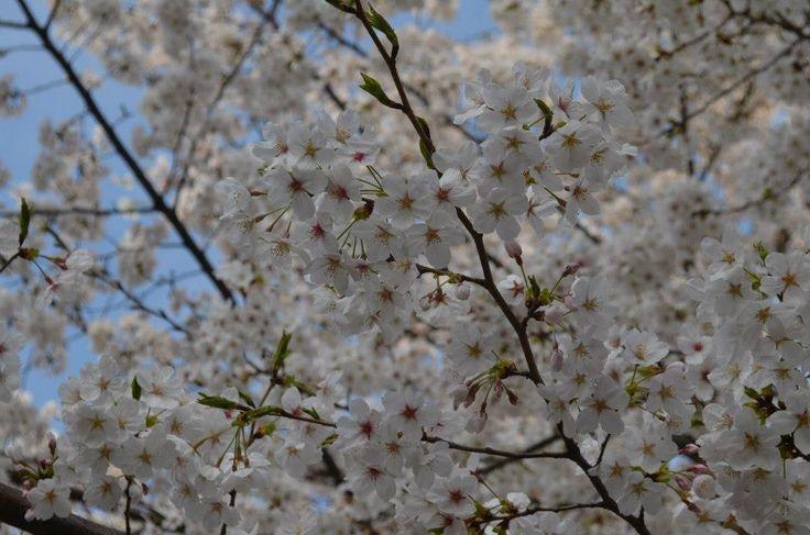 Spring in Japan #cherryblossoms #pretty #spring #travel #japan