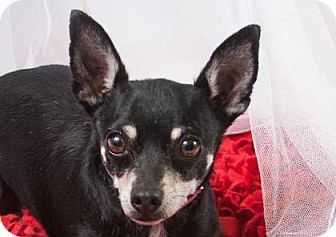 Pictures of Chai a Chihuahua for adoption in Colorado Springs, CO who needs a loving home.
