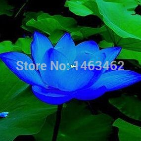 Семена лотоса водные растения сапфир чаша семена лотоса бонсай растения семена для дома и сада 10 семян / мешок бесплатная доставка