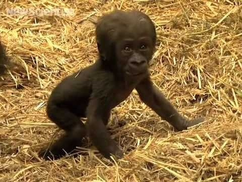 Baby gorilla takes first steps <3